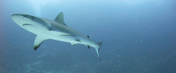 reef_shark_small
